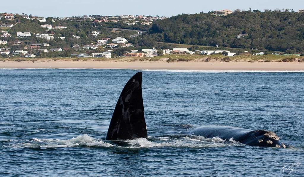 walvissen Zuid-Afrika