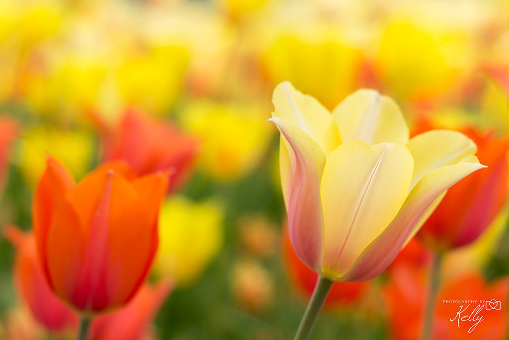 Keukenhof bloemen fotograferen
