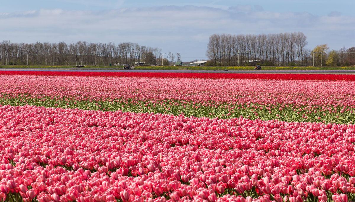 Tulpen-en bollenvelden bezoeken in de bollenstreek