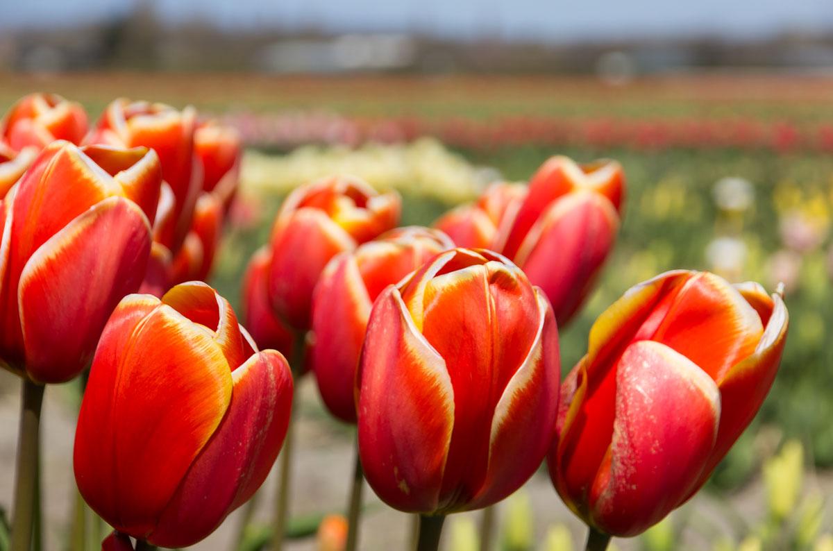 Tulpen-en bollenvelden bezoeken bollenstreek
