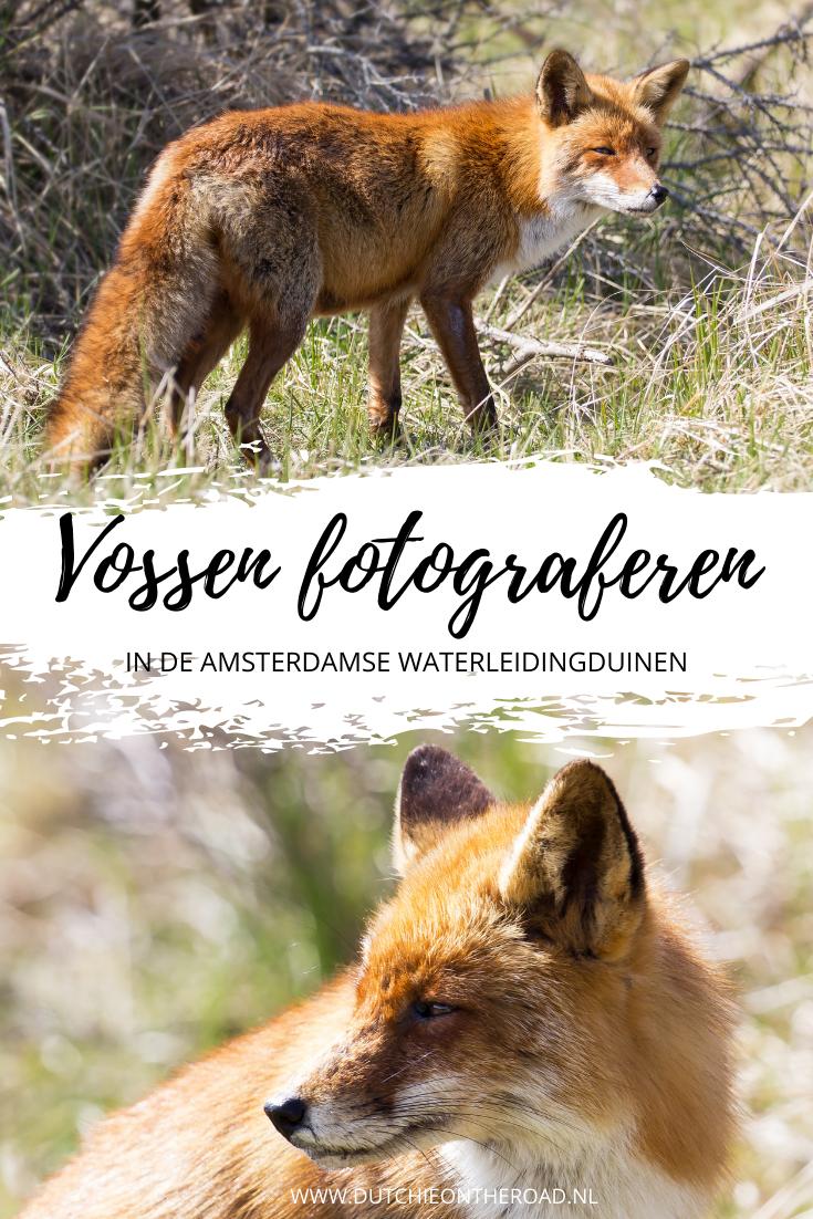 vossen fotograferen Amsterdamse Waterleidingduinen